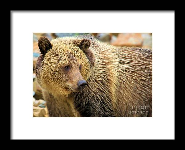 Grizzly Bear Framed Print featuring the photograph Portrait Of A Grizzly by Adam Jewell