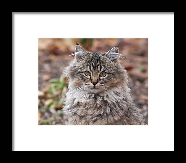 Framed Print featuring the photograph Portrait Of A Maine Coon Kitten by Rona Black