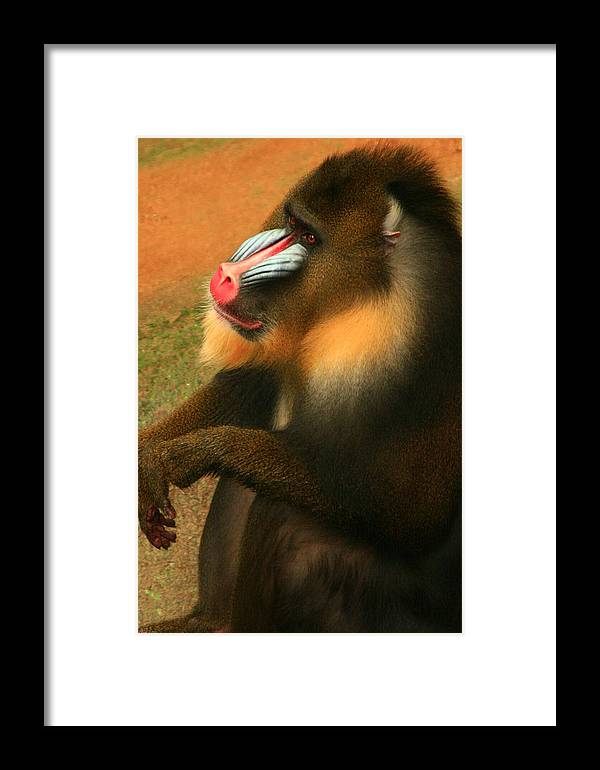 Zoo Animals Framed Print featuring the photograph Portrait Of A Primate by Raymond Mays