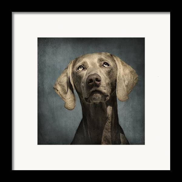 Dog Framed Print featuring the photograph Portrait Of A Weimaraner Dog by Wolf Shadow Photography