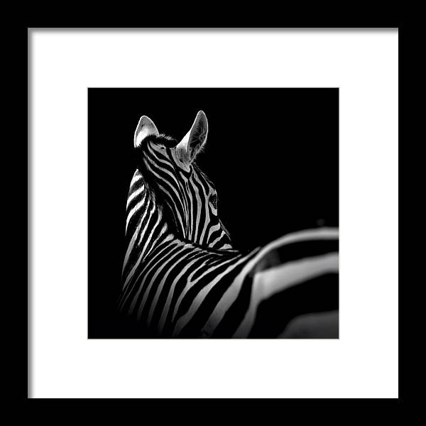 Portrait Of Zebra In Black And White II Framed Print by Lukas Holas