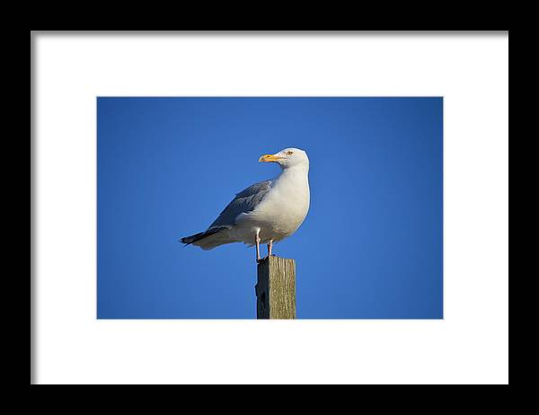 Herring Gull Framed Print featuring the photograph Posted by Jessica Cruz
