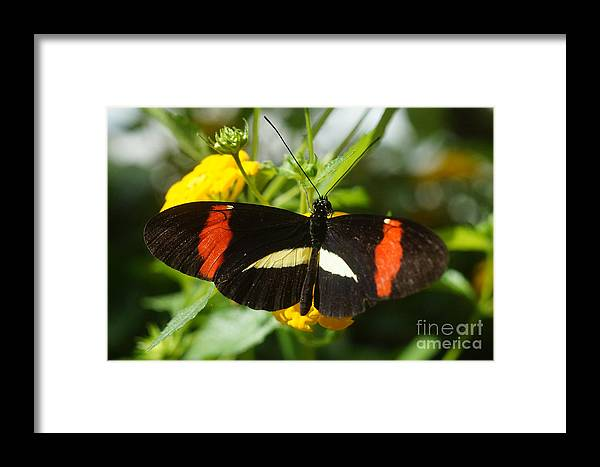 Nature Framed Print featuring the photograph Postman Butterfly 2 by Rudi Prott