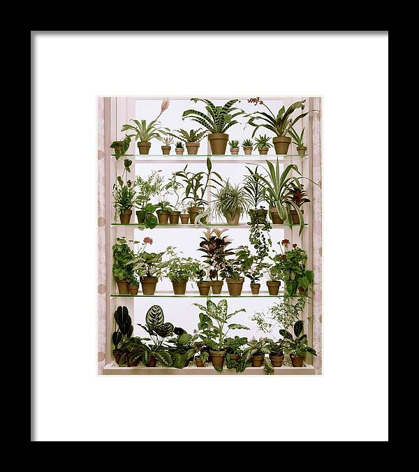 Plants Framed Print featuring the photograph Potted Plants On Shelves by Wiliam Grigsby
