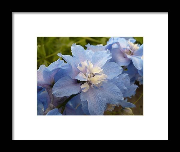 Blue Framed Print featuring the photograph Powder Blue Beauty by Nicki Bennett