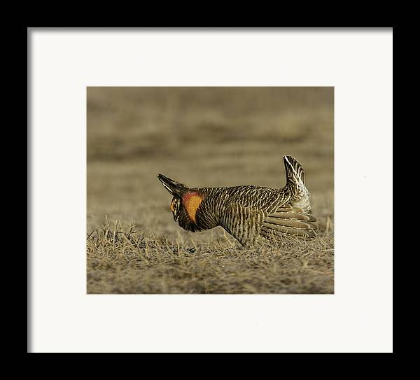 Prairie Chicken Framed Print featuring the photograph Prairie Chicken-9 by Thomas Young