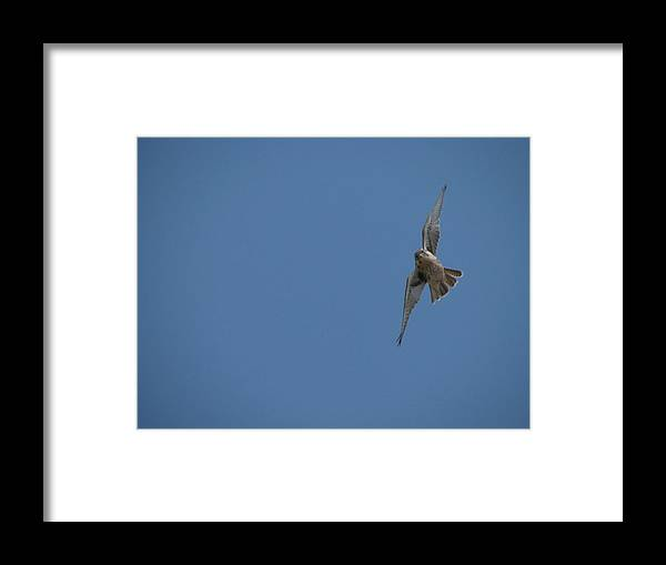 Prairie Framed Print featuring the photograph Prairie Diver by Darcy Tate