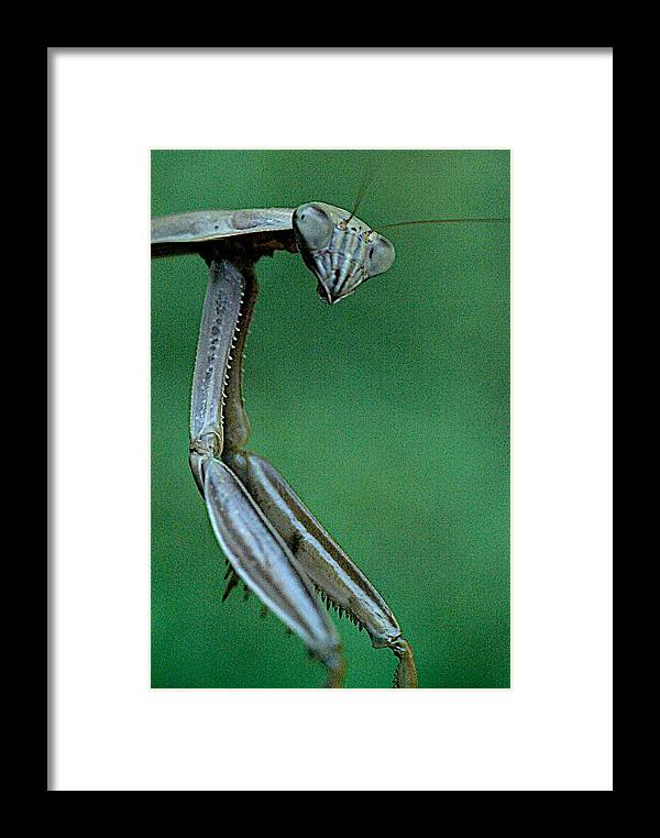Praying Mantis Framed Print featuring the photograph Praying Mantis by Charles Johnson