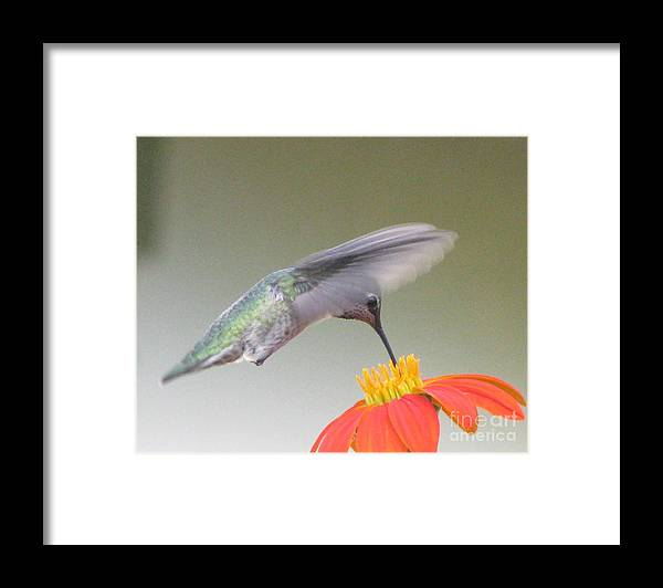 Hummingbird Framed Print featuring the photograph Precision by Tina Marie
