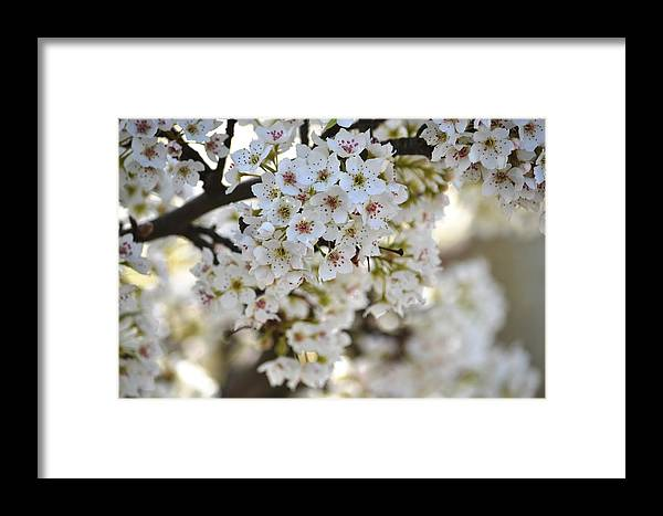 Photography Framed Print featuring the photograph Pretty Flowering Trees by P S
