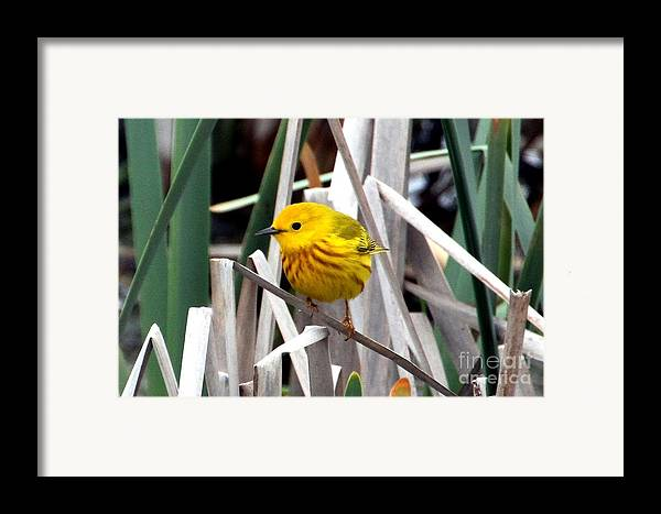 Yellow Warbler Framed Print featuring the photograph Pretty Little Yellow Warbler by Elizabeth Winter