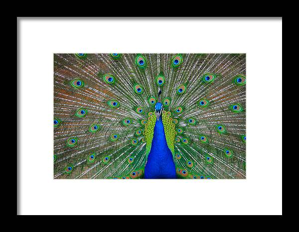 Pretty Framed Print featuring the photograph Pretty Peacock by Bill Cannon
