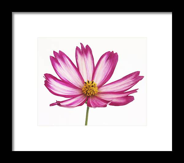 Pretty Pink And White Cosmos Flower Framed Print By Rosemary Calvert
