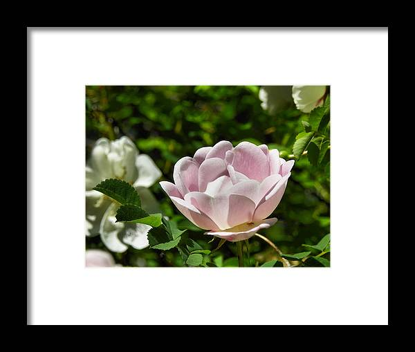Pink Framed Print featuring the photograph Pretty Pink by Gene Cyr