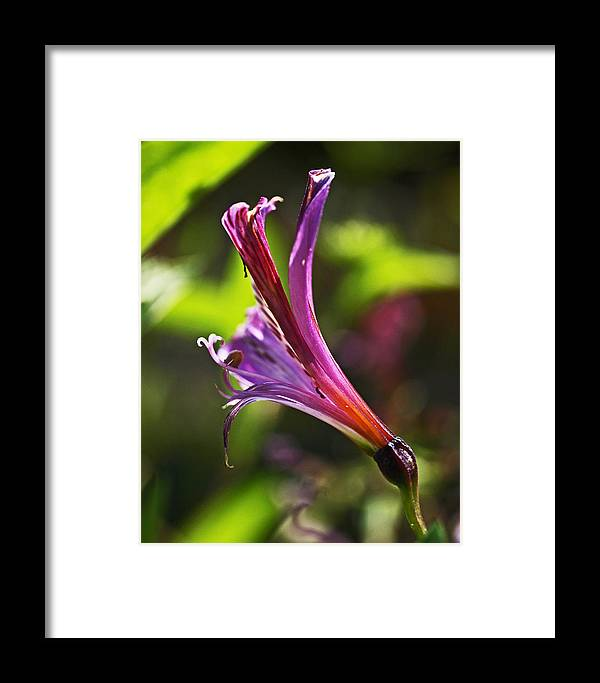 Alstroemeria Framed Print featuring the photograph Pretty Young Thing by Rona Black