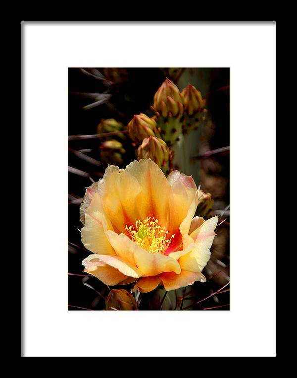 Prickly Pear Framed Print featuring the photograph Prickly Pear by Joe Kozlowski