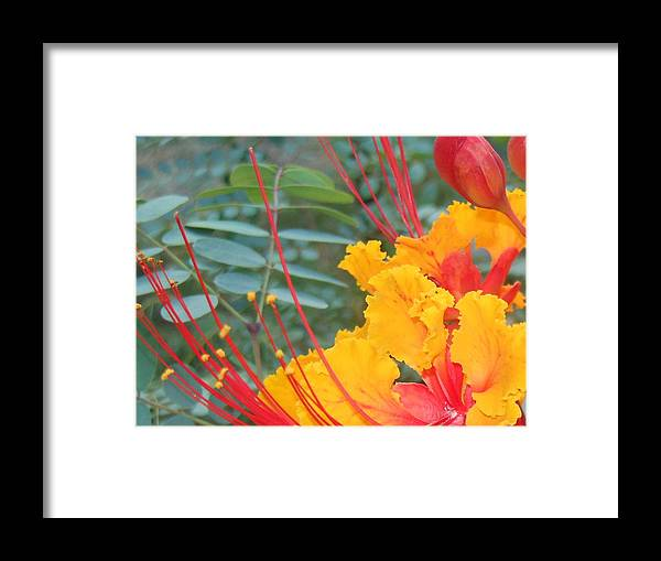 Macro Framed Print featuring the photograph Pride Of Barbados Photo by Lynn Maverick Denzer