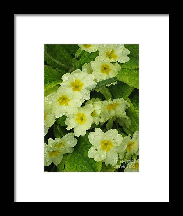"""""""pacific-northwest"""" Framed Print featuring the photograph Primroses by Ellen Miffitt"""