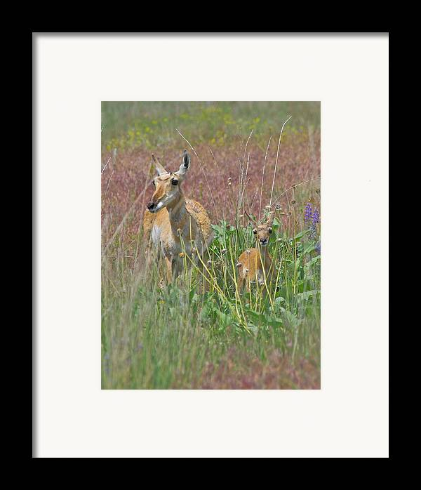 Pronghorn Framed Print featuring the photograph Pronghorn Doe And Fawn by Karon Melillo DeVega