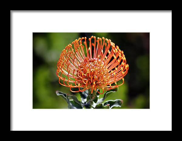 Protea Framed Print featuring the photograph Protea - One Of The Oldest Flowers On Earth by Christine Till