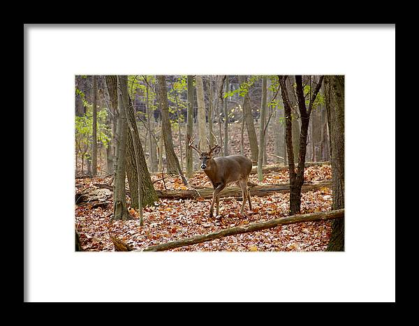 Buck Framed Print featuring the photograph Proud by Kimberly Davidson