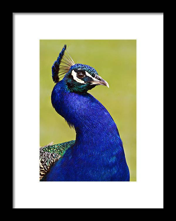 Bird Framed Print featuring the photograph Proud Peacock by Marcia Colelli
