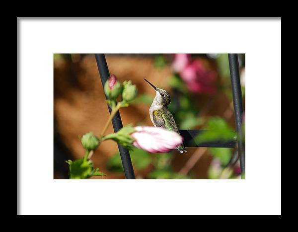Birds Framed Print featuring the photograph Proudful Little Hummingbird by Janice Adomeit
