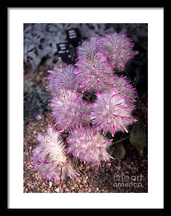 Europe Framed Print featuring the photograph Ptilotus Manglesii by Ros Drinkwater