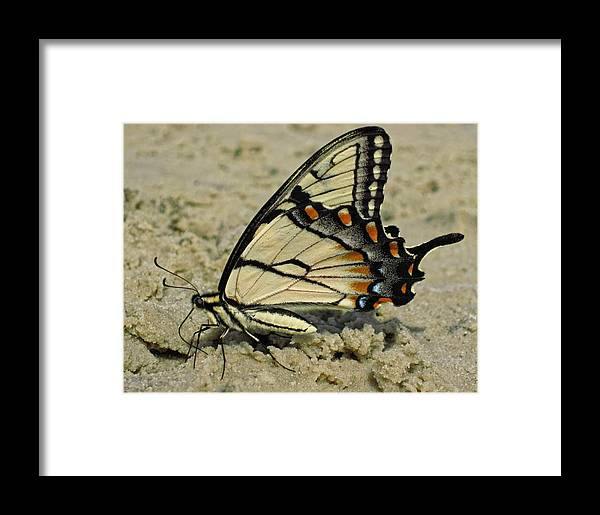 Eastern Tiger Swallowtail Butterfly Framed Print featuring the photograph Puddling Eastern Tiger Swallowtail Butterfly by Lara Ellis