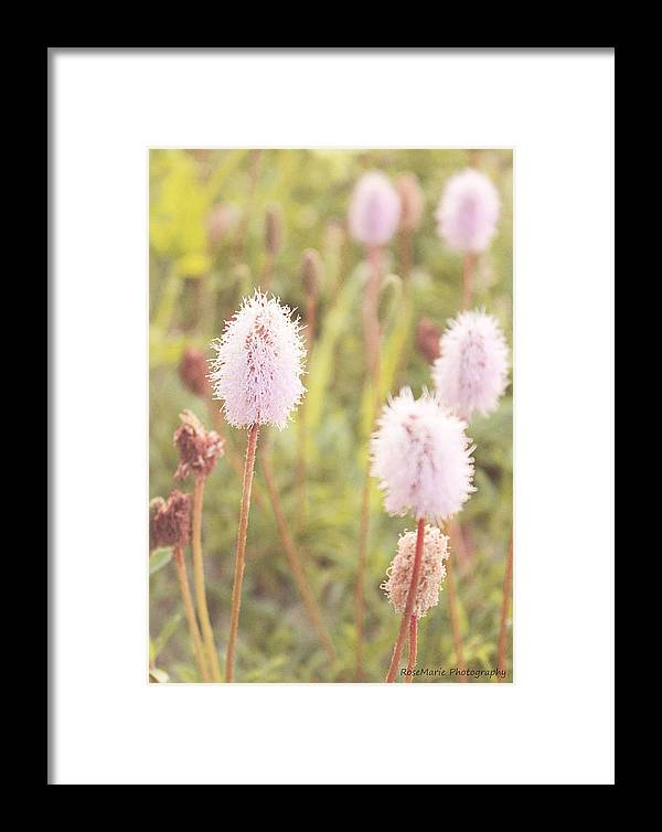 Flowers Framed Print featuring the photograph Puffies by Vanessa Parent