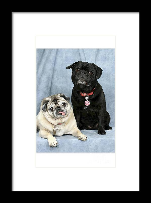 Dogs Framed Print featuring the digital art Pug Buddies In Color by Maxine Bochnia