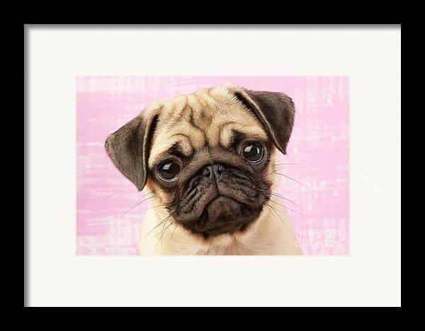 Puppy Framed Print featuring the digital art Pug Portrait by Greg Cuddiford