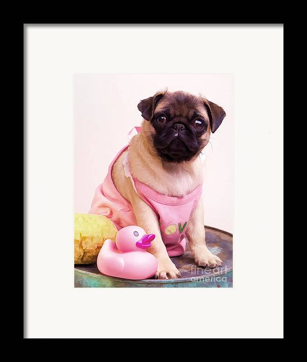 Pug Pink Dog Pet Puppy Puppies Cute Adorable Portrait Duckie Duck Bathtime Bath Wash Dress Clothed Clothing Framed Print featuring the photograph Pug Puppy Bath Time by Edward Fielding