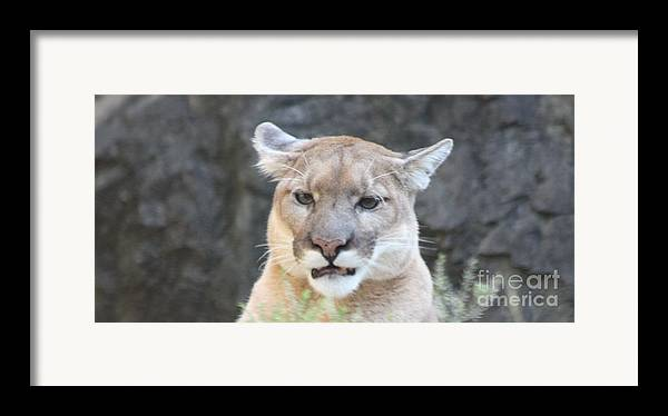 Puma Head Shot Framed Print featuring the photograph Puma Head Shot by John Telfer