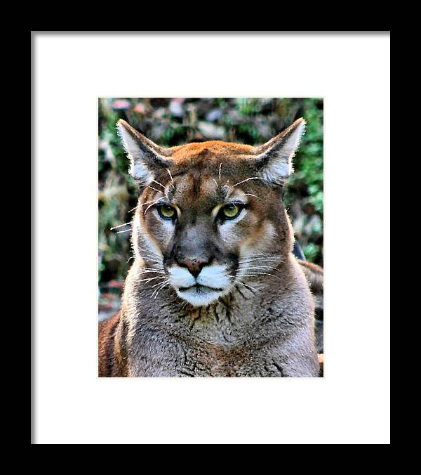 Puma Framed Print featuring the photograph Puma by Kristin Elmquist