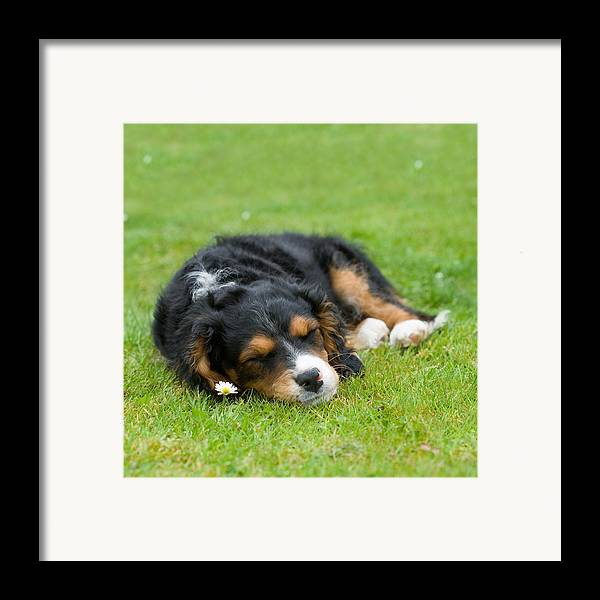 Pup Framed Print featuring the photograph Puppy Asleep With Garden Daisy by Natalie Kinnear