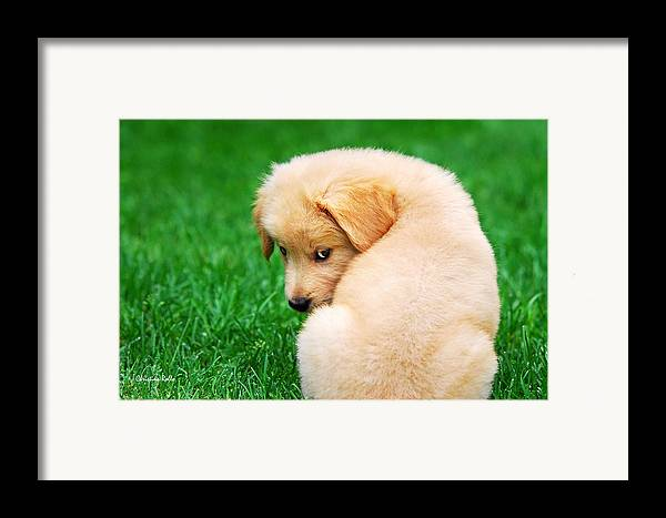 Golden Retriever Framed Print featuring the photograph Puppy Love by Christina Rollo