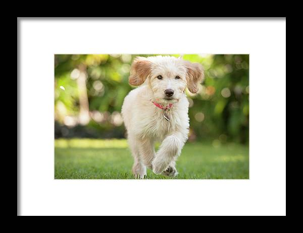 Pets Framed Print featuring the photograph Puppy Running Through The Grass by Chris Stein