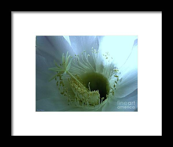 Cactus Flower Framed Print featuring the photograph Purity by Leanne Seymour