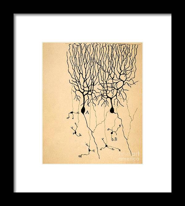 Purkinje Cells Framed Print featuring the photograph Purkinje Cells By Cajal 1899 by Science Source