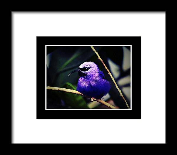 Birds Framed Print featuring the mixed media Purple And Blue Robin by Tracie Howard