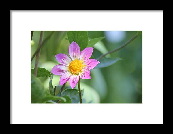 Dahlia Framed Print featuring the photograph Purple And Yellow Dahlia by John Will