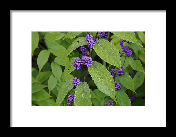 Purple Framed Print featuring the photograph Purple Berries by Nicole Berna