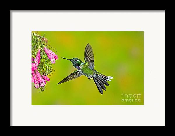 Fauna Framed Print featuring the photograph Purple-bibbed Whitetip Hummingbird by Anthony Mercieca