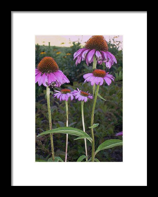 Photography Framed Print featuring the photograph Purple cone flowers and bee by Joseph Ferguson