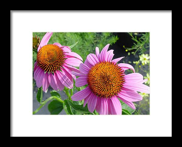 Flower Framed Print featuring the photograph Purple Coneflowers by Suzanne Gaff