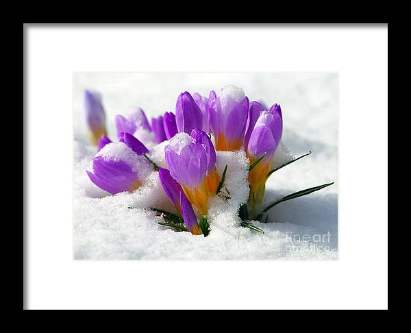 837549acdba8 Crocuses Framed Print featuring the photograph Purple Crocuses In The Snow  by Sharon Talson
