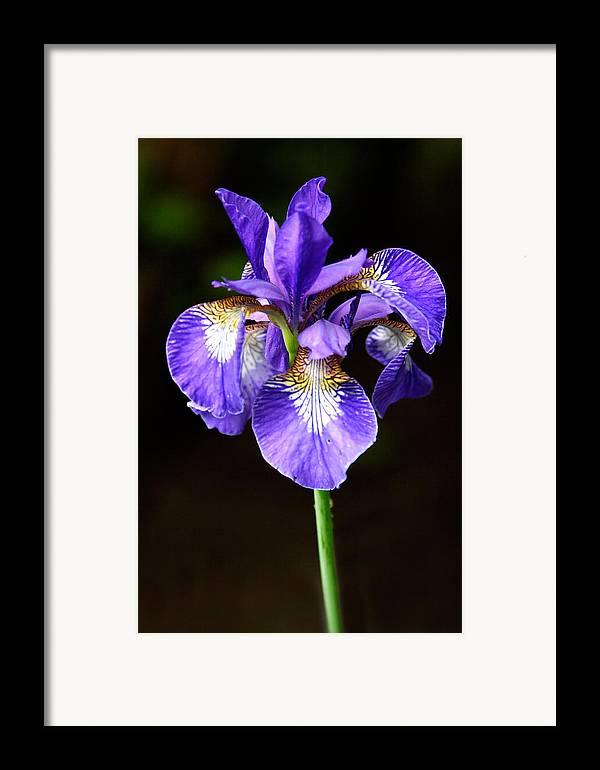 3scape Framed Print featuring the photograph Purple Iris by Adam Romanowicz
