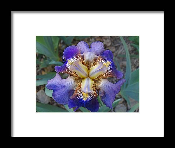 Blooming Flowers Framed Print featuring the photograph Purple Iris by Greg Boutz