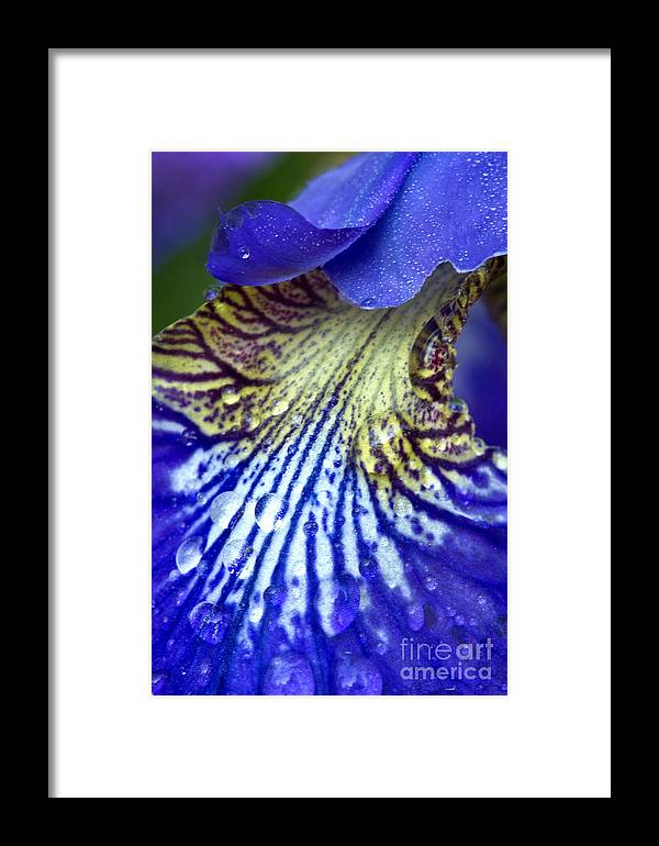 Purple Iris Framed Print featuring the photograph Purple Iris Petal by Carrie Cranwill